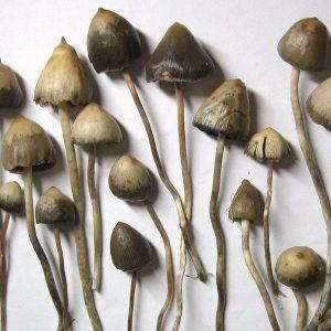 Liberty Cap Mushroom