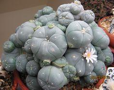 peyote plant gta online